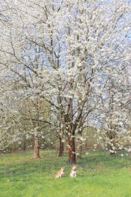 ドイツも桜の季節です