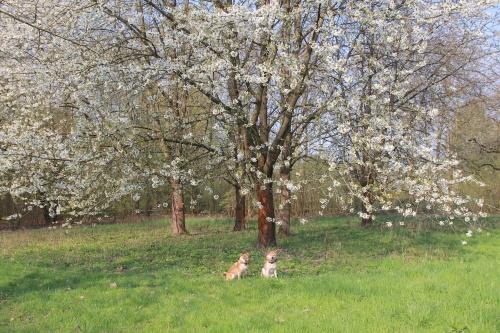 桜と柴犬2