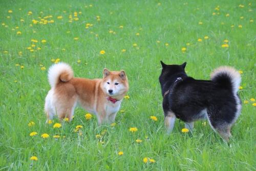 タンポポの咲く野原で2匹