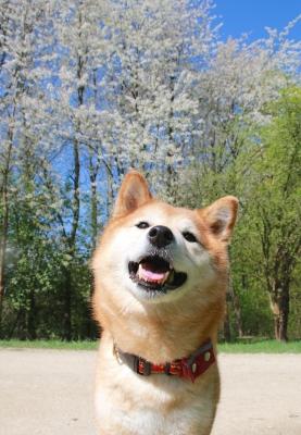桜をバックにアスカ