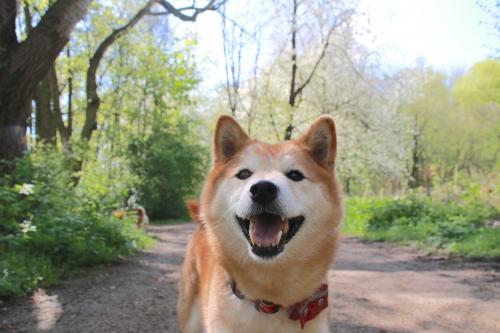 ニコって笑うアスカ。桜バック