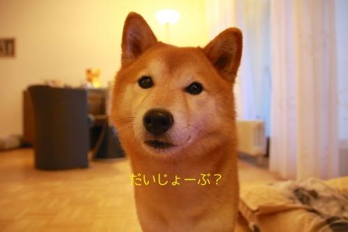 柴犬ハンカチ6