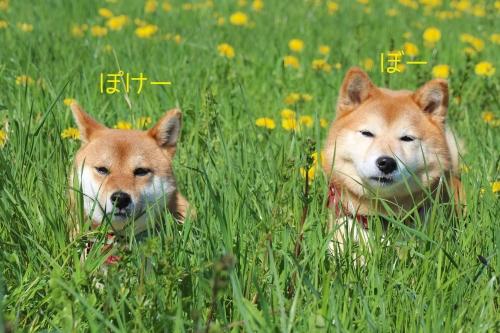 黄色い花と乗り気でない柴犬