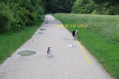 水たまりに向かって走るロッちゃん