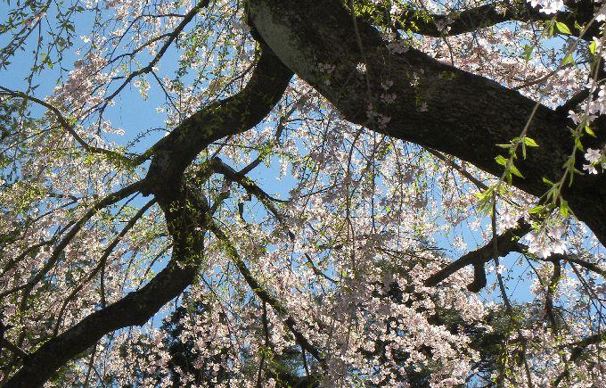 楽翁桜花裏2