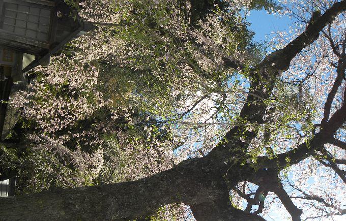 楽翁桜花裏1