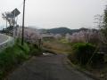 160409県道129号沿い鳥居野交差点付近の桜