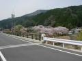 160409府道5号沿い和束川湯船の桜