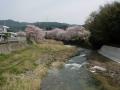 160409府道5号沿い和束川和束中下の桜