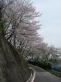 160409裏大正池ヘアピン下の桜