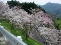 160409裏大正池ヘアピン上の桜を見下ろす