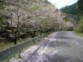 160409大正池井手側の桜ももう終わり近い