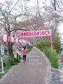 160409井手町桜まつりもそろそろ終わり