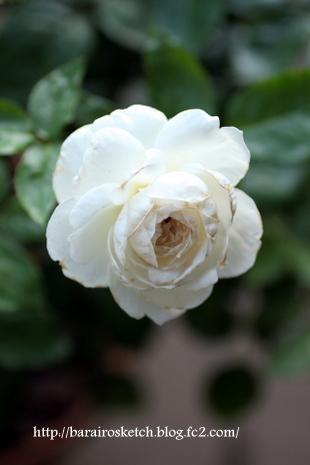 ボレロ二番花12