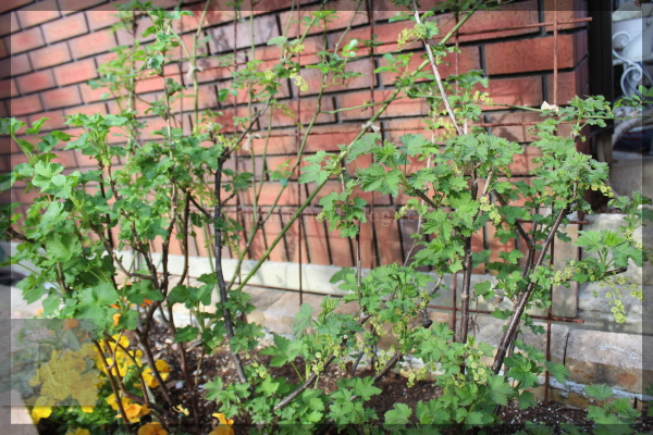 擁壁下 庭の花 クリスマスローズ 20160406