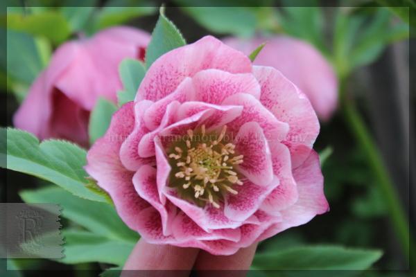 庭の花 クリスマスローズ 20160406