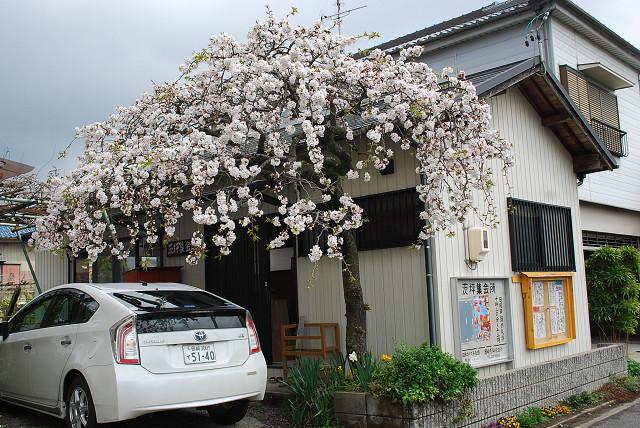 茨坪桜満開