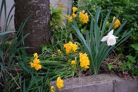 フリージアがきれいに咲いた