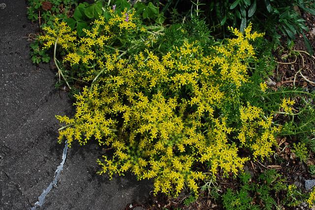 コモチマンネングサの花が