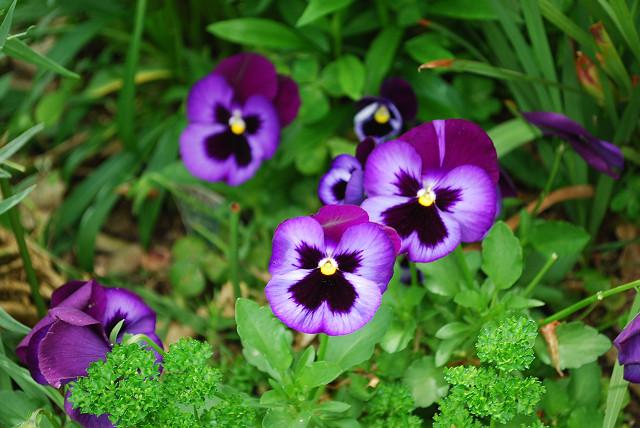ビオラのような花が