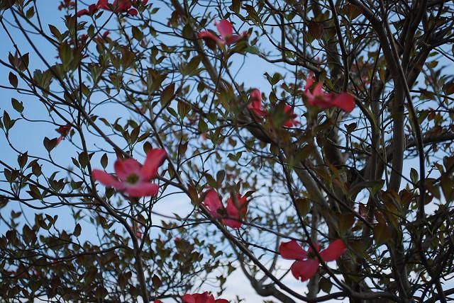 オオニソガラムの花は