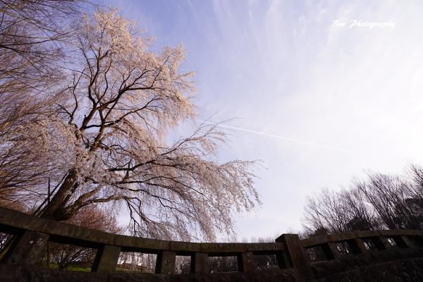 bee-栃谷戸公園サクラ0944