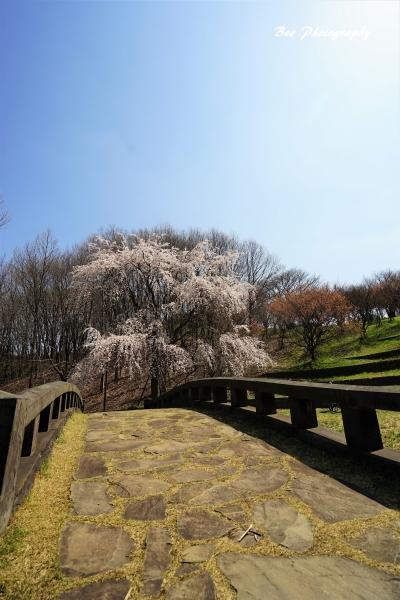bee-栃谷戸公園サクラ0778