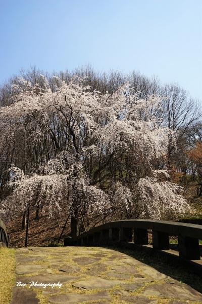 bee-栃谷戸公園サクラ0776