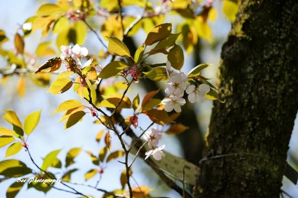 bee-高尾森林科学園2205-オオシマザクラ-嵐山