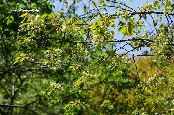 bee-高尾森林科学園2292-ヤマザクラ×オオシマ-御衣黄
