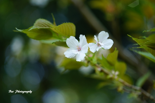 bee-高尾森林科学園2300-サトザクラ-八柱の滝匂