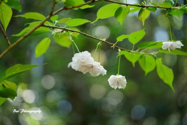 bee-高尾森林科学園2336-サトザクラ-新宿の一葉