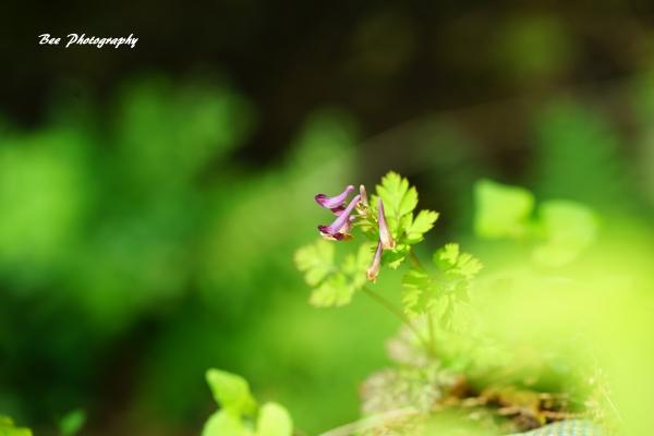 bee-森林科学園-ムラサキケマン2124
