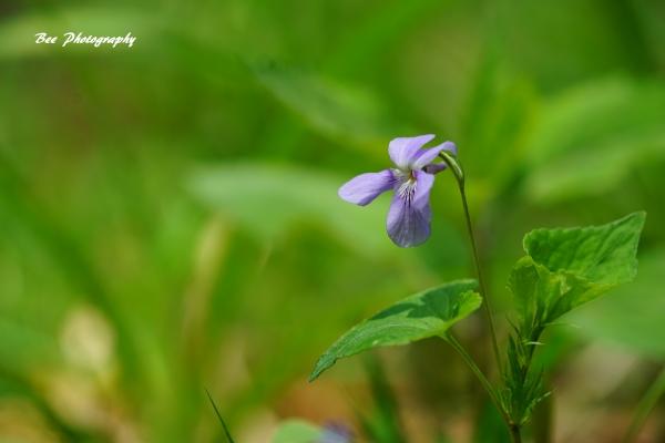 bee-森林科学園ータチツボスミレ2154