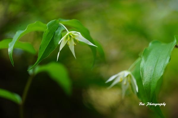 bee-森林科学園ーチゴユリ2420