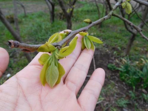 DSCN1712柿の葉