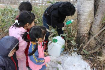 白樺の樹液採取
