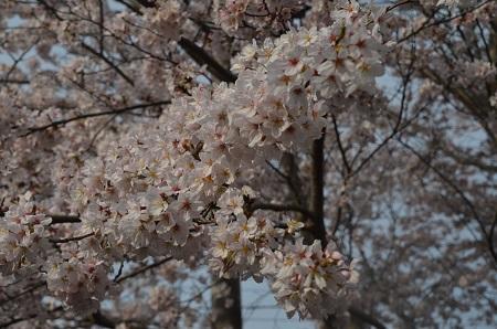 20160406桜0106
