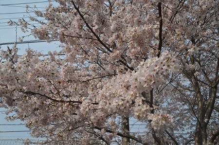 20160406桜0105