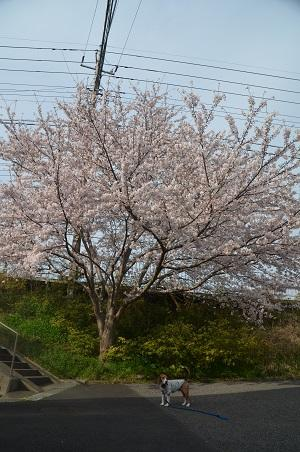 20160406桜0104