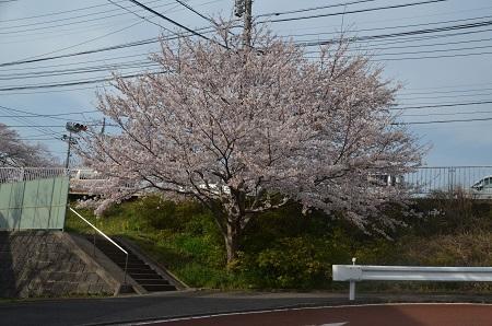 20160406桜0103