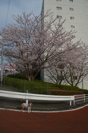 20160406桜0102