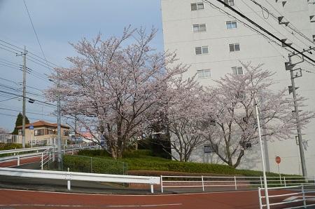 20160406桜01