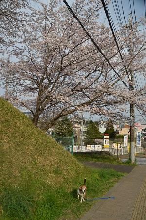 20160406桜12