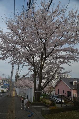 20160406桜11