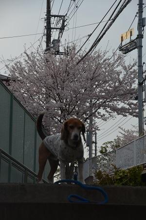 20160406桜10