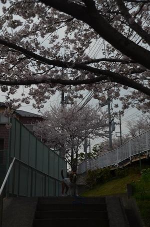 20160406桜09