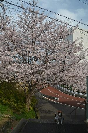 20160406桜07