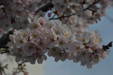 20160406桜18