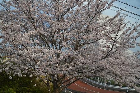 20160406桜16
